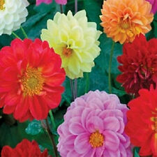 Dahlia Fresco Mix Seed Annual 7 Colours Double Cut Flower Easy to Grow