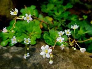 Saxifraga Cuneifolia -Evergreen Dwarf Alpine Ground-cover Plant in 9cm Pot