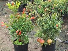 Dwarf Pomegranate  (Punica Granatum) 10 seeds-Liveseeds