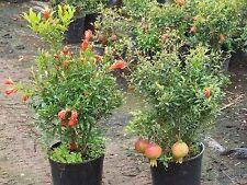 Liveseeds-Enano Granada (Púnica Granatum) 10 semillas