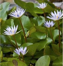 Nymphaea Dauben Yana Light Blue Tropical Water Lily Tuber Rhizome Buy2Get1Free*