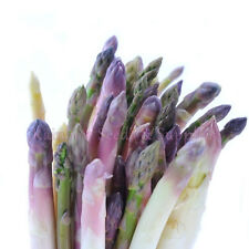 1820mg PURPLE DUTCH ASPARAGUS SEEDS! 100 ct Heirloom EARLY PRECOCE D'ARGENTEUIL