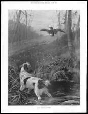 1899 Antique Print  -  Dog Spaniel Woodcock     (327)