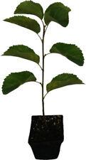 Felsenbirne - Thiessen - Pflanze Plantagensorte hochwertige Züchtung Rarität