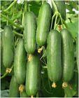Beit Alpha Cucumber Seeds, Persian or Lebanese Cucumber, Burpless, FREE SHIPPING