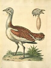 GEORGE EDWARDS ORIGINAL HAND COLORED BIRD ETCHING: PLATE 73; LONDON 1746