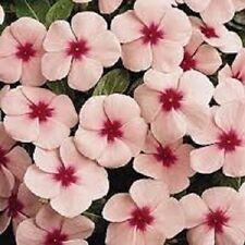 40+ Polka-Dot Vinca Periwinkle / Fragrant / Annual Flower Seeds