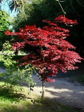 20 Graines Erable pourpre du Japon, Acer palmatum 'Atropurpureum' Seeds