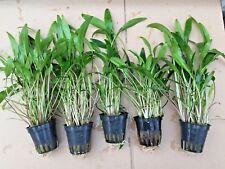 1Topf Cryptocoryne lucens Wasserkelch Wasserpflanzen Aquarium Aquarienpflanzen