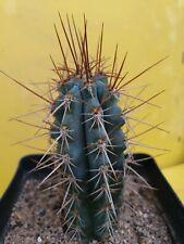 BROWNINGIA (Azureocereus) hertlingianus Blue cactus BIG OWN ROOTS copiapoa