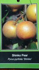 4'-5' SHINKO PEAR Tree Plant Healthy Fruit Trees Natural Juicy Pears Home Plants