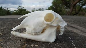 Dorpa Sheep skull with lower jaw perfect condition taxidermy hunting teeth bone
