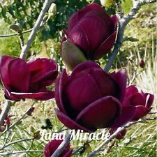 Rare Deep Purple Black Magnolia Yulan Flower Tulip Tree 10 Seeds/Pack Fragrant