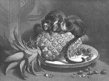 PET BRAZILIAN MONKEYS EAT FRUIT ON TABLE ~ Old 1859 LANDSEER Art Print Engraving