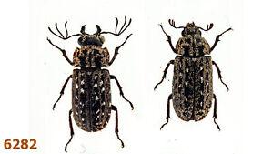 Lucanidae: Mitophyllus arcuatus  M A1 11 mm, F A1 10 mm, Mounted, 1 pair
