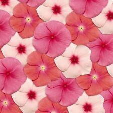 40PCs Seeds Fragrant Vinca Pacifica Georgia Peach Flower Periwinkle Home Garden