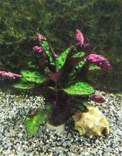 Breites Rotnervblatt - Hemigraphis colorata Terrarienpflanzen, Sumpfpflanzen