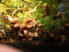 10 Ramshorn Snails.; 06mm-12mm.; PLANORBIDAE.