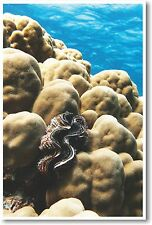 Maxima Clam on a Dome Coral - NEW Animal Wildlife POSTER