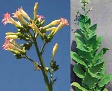 Nicotiana tabacum va 309 - 200 semi-il tabacco della Virginia