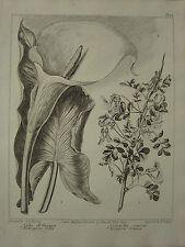 1806 DATED FLOWER PRINT ~ AETHIOPIAN CALLA ~ SCORPION SENNA