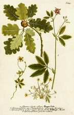 Roble-Quercus/Hagen-roble-Weinmann-kolorierter grabado 1745