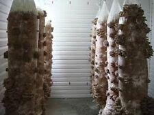 Blue Oyster mushrooms Mycelium  10.000 + fresh seeds Spores $10 ..