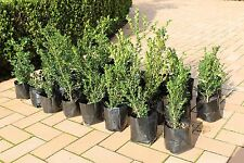 "Japanese Buxus microphylla Box Hedge $5 each 300mm  ""Dark green leaves"""