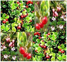 (20) Bearberry Seeds Arctostaphylos uva-ursi - Kinnikinick Sandberry - Comb. S&H