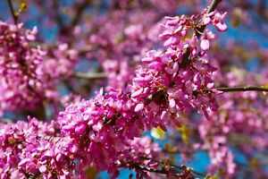 Cercis siliquastrum (YOUNG Judas tree)  FREE DELIVERY ON 5 OR MORE OF ALL PLANTS