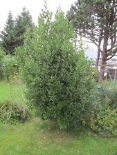 Echter, spanischer Lorbeer, unbehandelte Bioqualität aus eigenem Garten