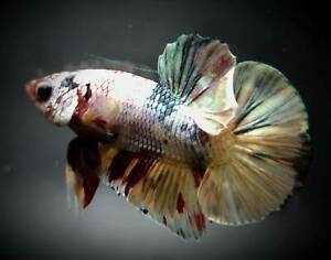 Betta live fish copper nemo AA Male Pet Supplies Fish&Aquariums Plakut Thailand