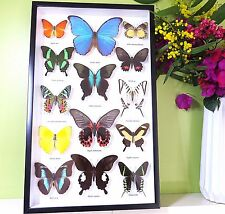 Butterfly display for sale real butterflies in shadowbox australia BRB