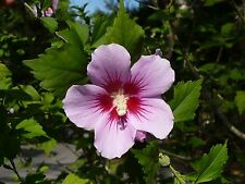 Rose of Sharon   Hardy Hibiscus   25 Seeds