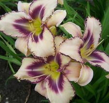 RARE Daylily bulbs DESTINED TO SEE Hemerocalli garden plant,  NO SEEDS, tubers
