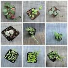 Live Succulent String of hearts / String of pearls ETC. Plants well rooted