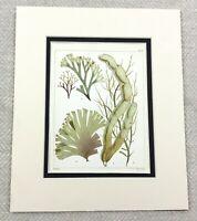 1857 Antico 19th Secolo Mano Colorato Alghe Stampa Botanico Mare Piante