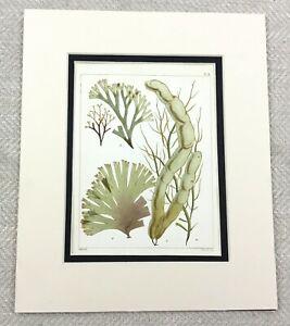 1857 Antique 19th Century Hand Coloured Seaweed Print Botanical Sea Plants