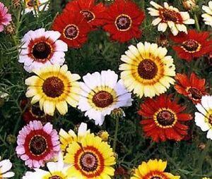 Chrysanthemum carinatum Merry Mixed -  Appx 700 seeds Annuals & Biennials