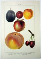 Drupes - Original 1902 Dated Chromo-Lithograph by  J Bien. Plum Peach Apricot