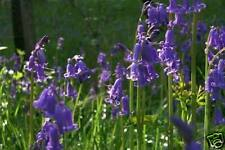 WILD FLOWER PURE ENGLISH BLUEBELL (LATEST HARVEST) 150 SEEDS