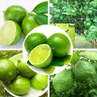 20PCS Kaffir Lime Seeds Citrus aurantifolia Seeds Home Garden Bonsai WST
