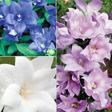 40+ PLATYCODON DOUBLE BALLOON MIXED FLOWER SEEDS (BLUE, WHITE, PINK/) PERENNIAL