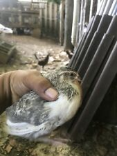 26 coturnix quail hatching eggs- mixed variety.
