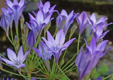 40 TRITELEIA SUMMER BLUE BELL FLOWER GARDEN BULB CORM Brodiaea Queen Fabiola
