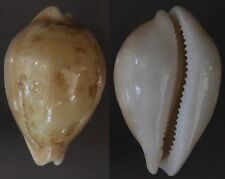 "Cypraea sakuraii, ""RARE"", 48mm, F++/F+++, superb pattern, very large"