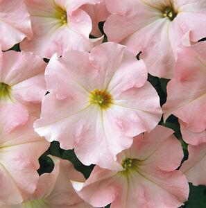 Flower - Petunia - Express Appleblossom  F1 - 50 Pelleted Seeds