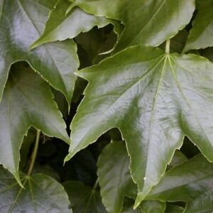 Boston Ivy Vine Seeds (Parthenocissus tricuspidata) 30+Seeds