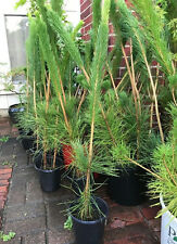 "10 x Japanese Black Pine Pinus Thunbergii Seedling 22"" to 30"" Bonsai / Landscape"