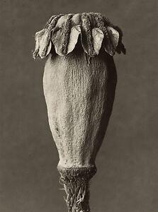 Masters of Photography: Karl Blossfeldt: Papaver orientalis - Digital Photograph